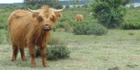 Vaches highlands 2