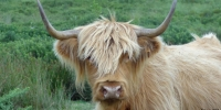 Vaches highlands 3