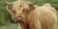 Vaches highlands 4
